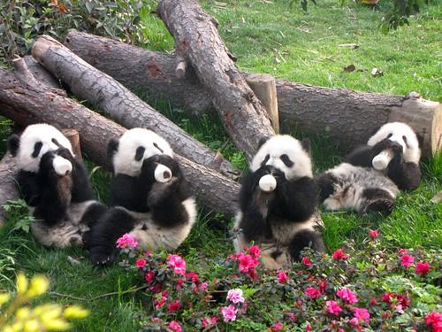 Essential Guide to Do the Panda Volunteer Job in Chengdu