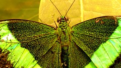 Butterfly (blmiers2) Tags: newyork green nature butterfly gold nikon explore papillon borboleta coolpix mariposa farfalla schmetterling vlinder  s3000 papiliopalinurus emeraldswallowtail     blm18 blmiers2