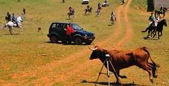 16-05-2011. Gazpachos y Tercer encierro. Vacas de la ganadería La Alpujarra