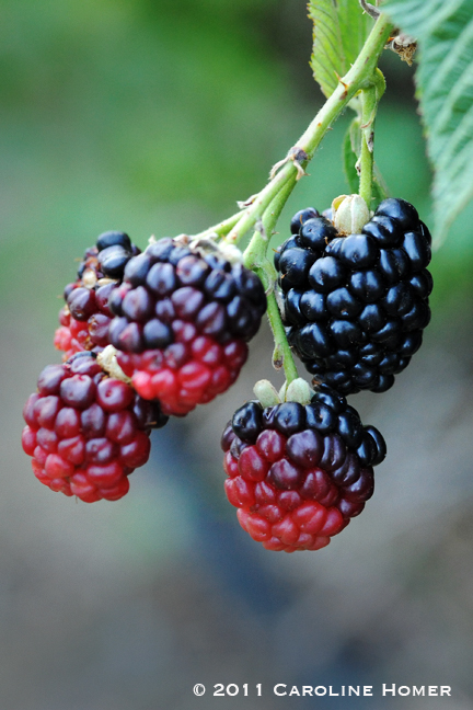 Ripening black raspberries