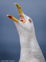 Herring gull (Ignacio Ferre) Tags: animal ave bird españa galicia gaviota gaviotapatiamarilla gull seagull larus pájaro spain laruscachinnans herringgull cíesislands islascíes nikon gritar call scream