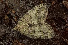 Oak Winter Highflier (Hydriomena nubilofasciata) (aliceinwl1) Tags: arthropod arthropoda ca california geometridae geometroidea hodges7276 hydriomena hydriomenanubilofasciata hydriomenini insect insecta lagunamountain larentiinae lepidoptera moth oakwinterhighflier sanbenitocounty sweetwater geometridmoth locpublic nubilofasciata viseveryone