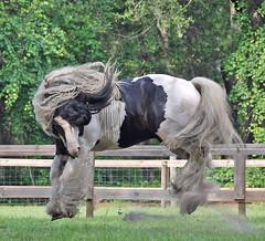 D'Jango Jazz - Gypsy stallion (The Pelton Vanners Gypsy Vanner Horses) Tags: cob gypsy stallion gypsyvanner gypsyhorse gypsystallion gypsyvannerstallion thepeltonvanners
