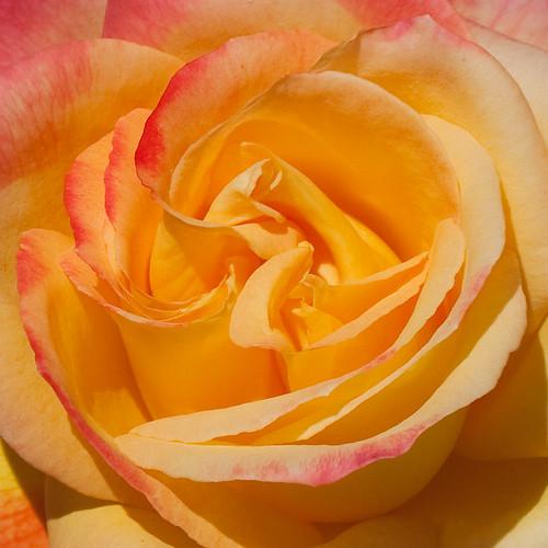 Cranbury Rose