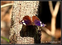 5-Esta me llamo la atencion por su color azul. Todas las fotos fueron tomadas el 8 de Mayo del 2009, cuando mi camara vino reparada y no estaba al dia con eso de la fecha.Sierra de Bahoruco, Nuestra sierra encantada. Rep.Dom (Cimarrn Mayor !!!7,000.000 DE VISITAS, GRACIAS!!) Tags: macro butterfly dominicanrepublic sierra papillon borboleta mariposa republicadominicana schmetterling vlinder panta bolboreta  dominicano  bahoruco canoneos40d canon40d sierradebahoruco cimarronmayor telefoto100400 mariposatornasoladaprpura mysceliaaracynthia