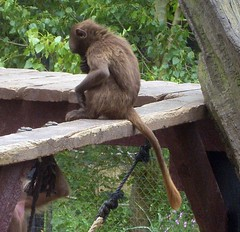Baby monkey (Abi Skipp) Tags: zoo monkey colchester