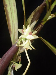 Scaphyglottis graminifolia (dwittkower) Tags: orchid flower macro flora orchids orchidaceae species orquideas flowercloseup orchidée flowermacro macroflower orchidcloseup scaphyglottis macroorchid orqudea