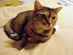 Meow (Tabbymom Jen) Tags: cat tabby kitty nina torbie kissablekat