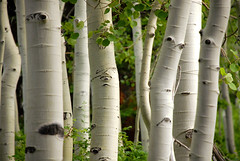 Aspen trees by timpanookie (houstonryan) Tags: trees tree art print poster photography photo picture photograph aspens aspen quaking quakie quakin