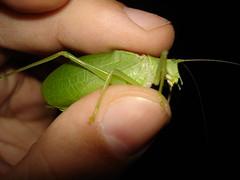 08-11-09 - 37 (Andrew Naylor) Tags: katydid
