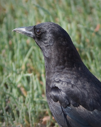 Common Raven by you.
