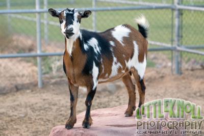 KH0909 0152WM Goat