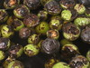 IMG_3605 (gfixler) Tags: ink walnut nuts stove howto castiron making fryingpan frypan simmering simmer juglans juglansregia englishwalnut juglone persianwalnut commonwalnut