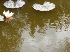 waterlilies and reflections 2 (alacey11) Tags: reflection water waterlilies