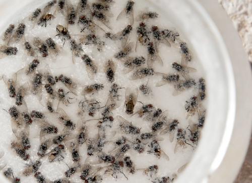 mosca comun
