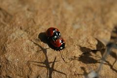 Lady-Bird Beetles