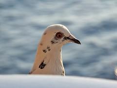 seagull (Winfried Veil) Tags: bird eye veil greece mwe griechenland auge hydra winfried vogel schnabel federn mobilew winfriedveil