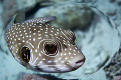 puffer (Maarten Drossaert) Tags: canon underwater egypt diving powershot puffer padi g9 kogelvis