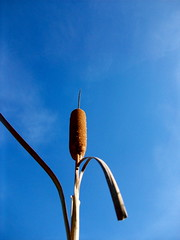 Cattail (Kara Allyson) Tags: blue sky contrast cattail oddangle