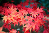Autumn colour (Bob-Reid) Tags: autumn colour leaves arboretum westonbirt sigma50mmf14hsm