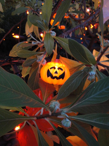 Halloween Edgeworthia