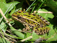 Northern Leopard Frog (Wild Chroma) Tags: canada rana ranapipiens pipiens