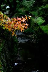 autumn leaves ([cipher]) Tags: trip autumn leaf nikon kyoto autumnleaves d300 colorefex capturenx tofukujitemple