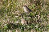 Asthenes baeri -  Short-billed Canastero (arthurgrosset) Tags: lenheiro fbwnewbird fbwadded shortbilledcanastero asthenesbaeri