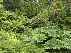 Jungle Valley, Heligan Gardens, Cornwall, England (Rosarian49) Tags: gardens jungle heligan gunnera treeferns historicalgardens rosarian49