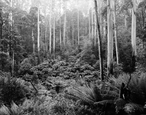 A Gallery of Tree Ferns at the Feet of Mountain Ash