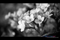 Smell of Desire.. (Waseef Akhtar) Tags: blackandwhite bw stilllife flower nature glow dof homestudio strobist canoneos400d