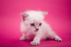 Meow (Sergiu Bacioiu) Tags: pink pet cats baby pets white playing cute beautiful animal horizontal standing cat studio fur one furry kitten feline pretty looking view shot little fuzzy sweet expression background small pussy young adorable kitty posing kittens spot whiskers domestic stare curious charming breed haired isolated carnivore pedigree lovable purebred
