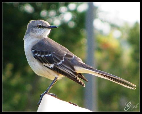 florida state bird. FLORIDA#39;S STATE BIRD.