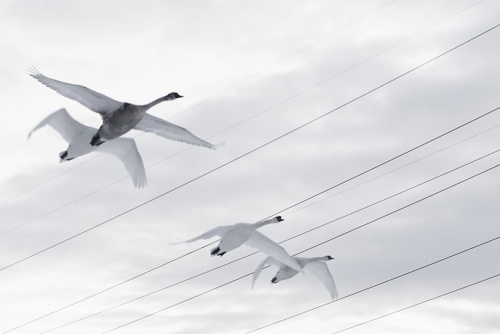four swans in flight