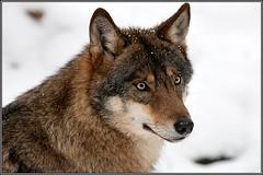 Wolf Heimattierpark Olderdissen, Bielefeld