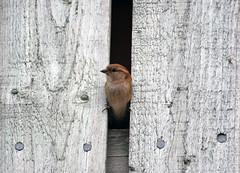 Peekaboo (David Birtles) Tags: wood summer bird spring nikon sigma 300mm sparrow april barnsley d60 wigfieldfarm