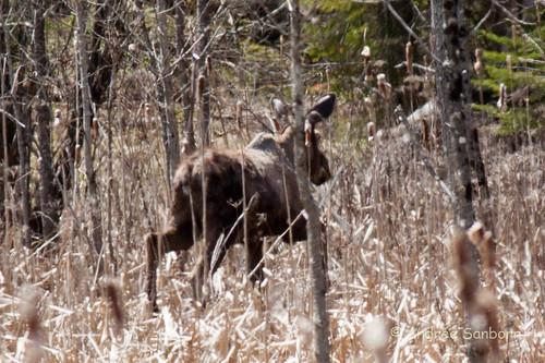 Runaway Pond Moose  -18.jpg