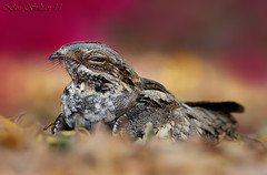 Eurpean Nightjar  -   () Tags: bird birds bin egyptian sultan qatar  birdwatchers nightjar     eurpean