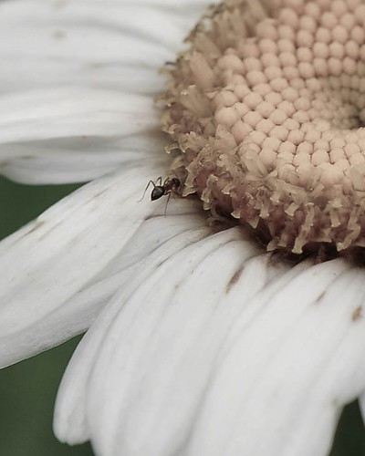 ant on daisy