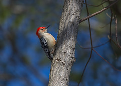 Red-Bellied Woodpecker (hey its k) Tags: birds cootesparadise hamilton nature redbelliedwoodpecker winter woodpecker ontario canada ca img1091e canon6d tamron 150600mm royalbotanicalgardens hfg