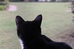 Watching Out the Window Again (cmcgough) Tags: cats georgia tuxedocats jinx