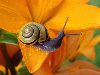Snail on a Lily with Dewdrops