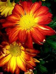 Margaritas otoales (ViMFuR) Tags: flowers orange flores macro daisies fleurs kodak naranja margaritas picnik heb vimfur
