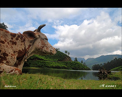 Indo - Swiss cow's view of Munnar.