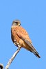 Rock Kestrel by Jacques de villiers