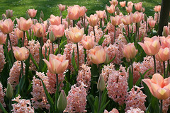 Isn't this mix of pink tulips and hyacinths just beautiful? (Ingrid0804) Tags: flowers denmark spring tulips april hyacinth pinktulips pinkhyacinths gavn theunforgettablepictures wonderfulworldofflowers 100commentgroup virtualjourney saariysqualitypictures