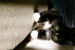 Another Chair to Claw! (cmcgough) Tags: cats georgia tuxedocats jinx