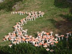 1 champignon par annee de colonisation en Australie (221)