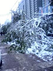 路边的景观树被压断了头