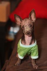 My Little Golem (puck90) Tags: rescue dog chihuahua photo grace explore foster golem puck90 adoptdontshop animaladvocatesalliance